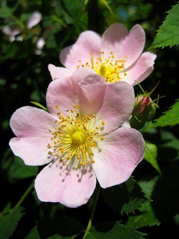 玫瑰尖刺紥出生命之血