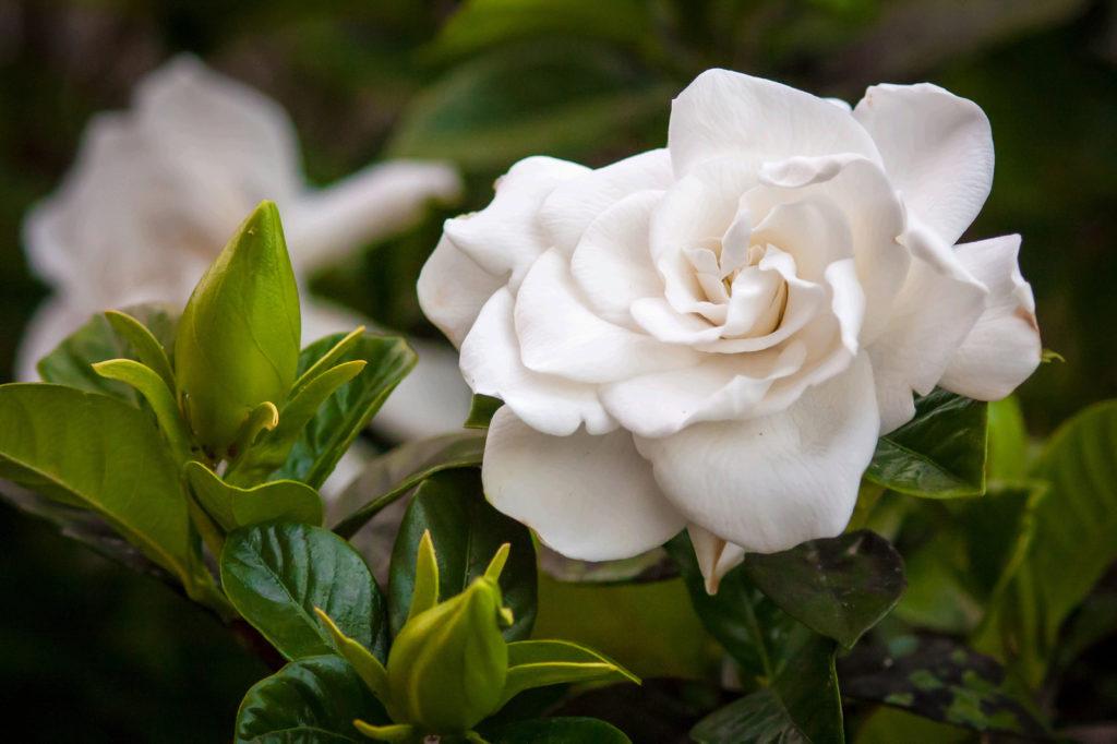 gardenia-1617870-1598x1065